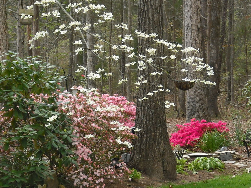 Early spring dogwoods and azaleas