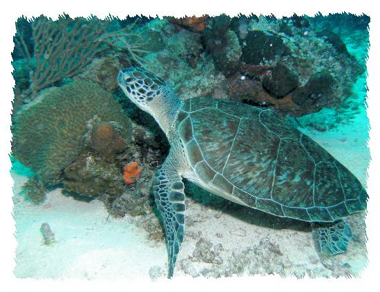 Sea Turtle Spotted at Buck Island